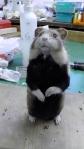 Hamster nachher